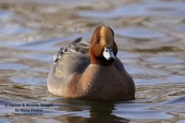 WildLife Photos of Birds, Geese, Ducks & others, Eurasian Wigeon, Anas penelope
