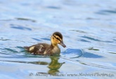 WildLife Photos of Mallard, Anas platyrhynchos