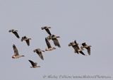 WildLife Photos of Greater White-fronted Goose, Anser albifrons
