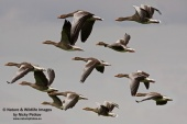 WildLife Photos of Birds, Geese, Ducks & others, Greylag Goose, Anser anser
