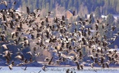 WildLife Photos of Pink-footed Goose, Anser brachyrhynchus