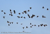 WildLife Photos of Lesser White-fronted Goose, Anser erythropus