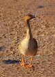 WildLife Photos of Bean Goose, Anser fabalis