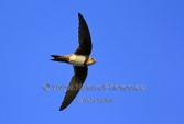 WildLife Photos of Alpine Swift, Tachymarptis melba