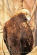 WildLife Photos of Birds of Prey, Imperial Eagle, Aquila heliaca