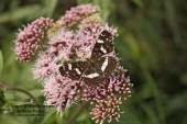WildLife Photos of Map butterfly, Araschnia levana