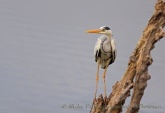 WildLife Photos of Grey Heron, Ardea cinerea