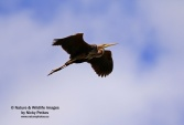 WildLife Photos of Purple Heron, Ardea purpurea