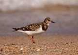 WildLife Photos of Ruddy Turnstone, Arenaria interpres