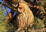 WildLife Photos of Long-eared Owl, Asio otus