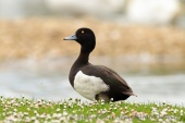 WildLife Photos of Tufted Duck, Aythya fuligula