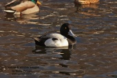 WildLife Photos of Birds, Geese, Ducks & others, Greater Scaup, Aythya marila