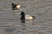 WildLife Photos of Greater Scaup, Aythya marila