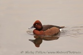 WildLife Photos of Ferruginous Duck, Aythya nyroca