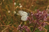WildLife Photos of Black-veined white, Aporia crataegi