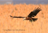 WildLife Photos of Birds of Prey, Western Marsh-harrier, Circus aeruginosus