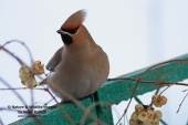 WildLife Photos of Bohemian Waxwing, Bombycilla garrulus