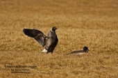 WildLife Photos of Brent Goose, Branta bernicla