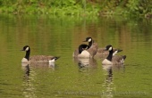 WildLife Photos of Canada Goose, Branta canadensis