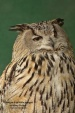 WildLife Photos of Owls & Nightjars, Eurasian Eagle-owl, Bubo bubo