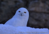 WildLife Photos of Snowy Owl, Nyctea scandiaca