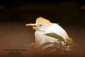 WildLife Photos of Cattle Egret, Bubulcus ibis