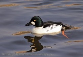 WildLife Photos of Common Goldeneye, Bucephala clangula