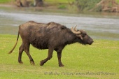 WildLife Photos of Primitive breeds and Agriculture, Water Buffalo, Bubalus bubalis