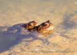 WildLife Photos of Amphibians, Frogs and Toads, Common Toad, Bufo bufo