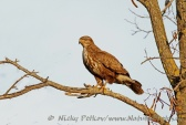 WildLife Photos of Birds of Prey, Common Buzzard, Buteo buteo