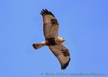 WildLife Photos of Birds of Prey, Rough-legged Hawk, Buteo lagopus