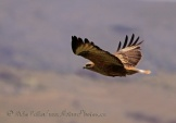 WildLife Photos of Birds of Prey, Long-legged Buzzard, Buteo rufinus