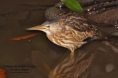 WildLife Photos of Striated Heron, Butroides striata