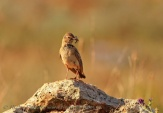 WildLife Photos of Greater Short-toed Lark, Calandrella brachydactyla