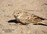 WildLife Photos of Lesser Short-toed Lark, Calandrella rufescens