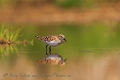 WildLife Photos of Little Stint, Calidris minuta
