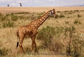 WildLife Photos of Mammals, Ungulates, Giraffe
