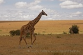 WildLife Photos of Giraffe, Giraffa camelopardalis