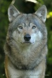 WildLife Photos of Wolf, Canis lupus