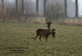 WildLife Photos of Roe Deer, Capreolus capreolus