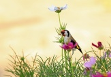 WildLife Photos of European Goldfinch, Carduelis carduelis