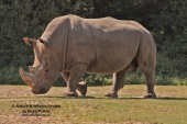 WildLife Photos of White Rhinoceros, Ceratotherium simum