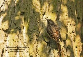 WildLife Photos of Nuthatches & Treecreepers, Short-toed Tree-creeper, Certhia brachydactyla