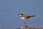 WildLife Photos of Birds, Waders, Little Ringed Plover, Charadrius dubius