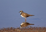 WildLife Photos of Little Ringed Plover, Charadrius dubius
