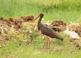 WildLife Photos of Black Stork, Ciconia nigra