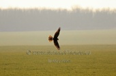 WildLife Photos of Birds of Prey, Northern Harrier, Circus cyaneus
