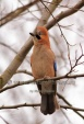 WildLife Photos of Eurasian Jay, Garrulus glandarius