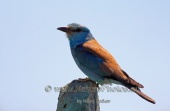 WildLife Photos of European Roller, Coracias garrulus