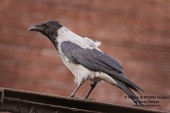 WildLife Photos of Birds, Crows, Starlings & others, Hooded Crow, Corvus corone cornix